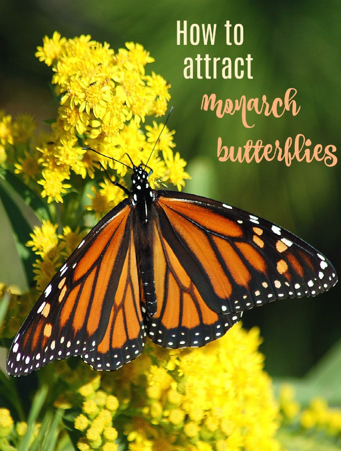 Tips for attracting monarch butterflies