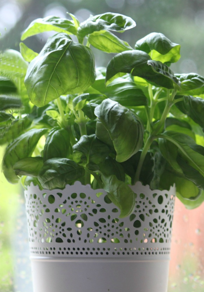 Basil is an annual herb use in Italian cooking