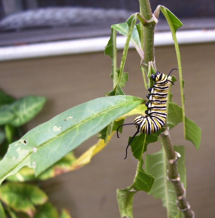 Monarch caterpillar eating a milkweed leaf