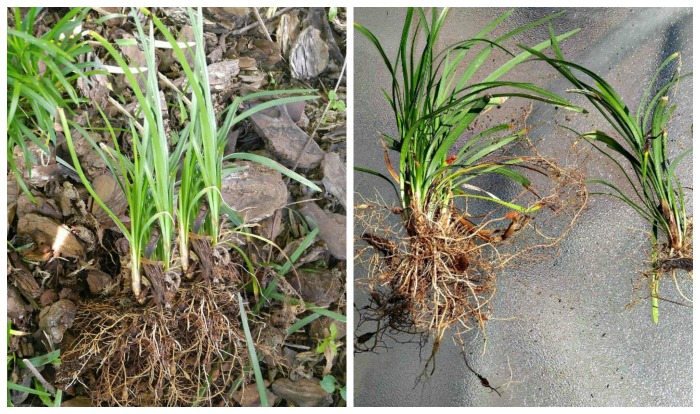 Divide monkey grass with crown and roots on both pieces
