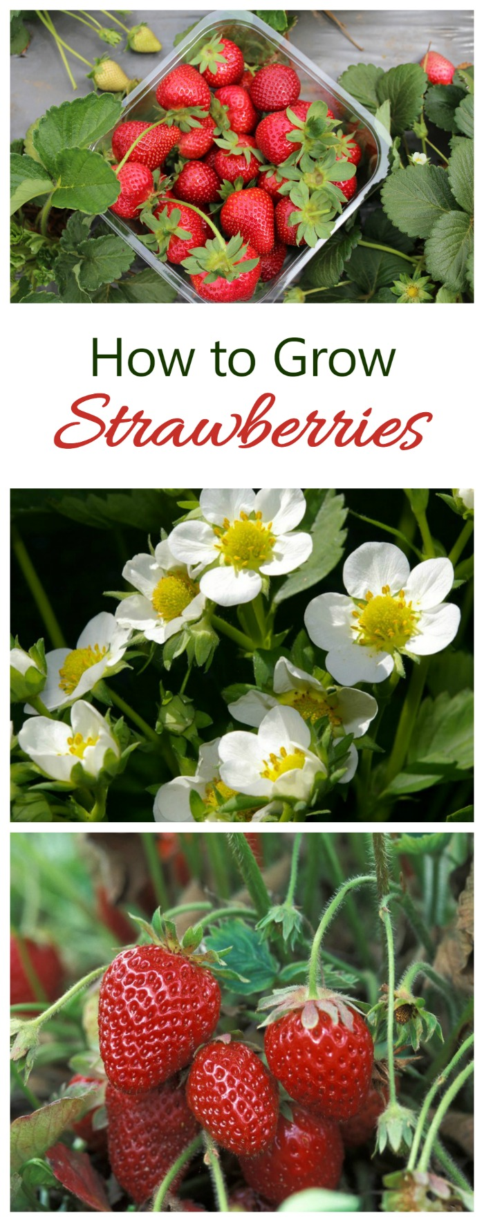 Strawberries sometimes develop oddly due to various factors, including damage from insects such as the tarnished plant bug or mites, or frost or heat injury, nutrient deficiencies (such as boron), chemical injury, etc. Poor pollination can also affect development.