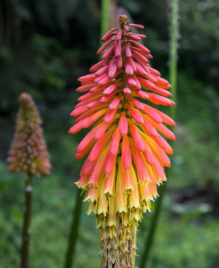 Hummingbirds love the tubular flowers of torch lilies