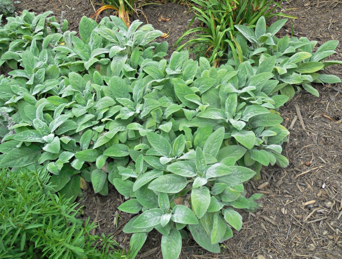 Lamb's ears are great for weed control