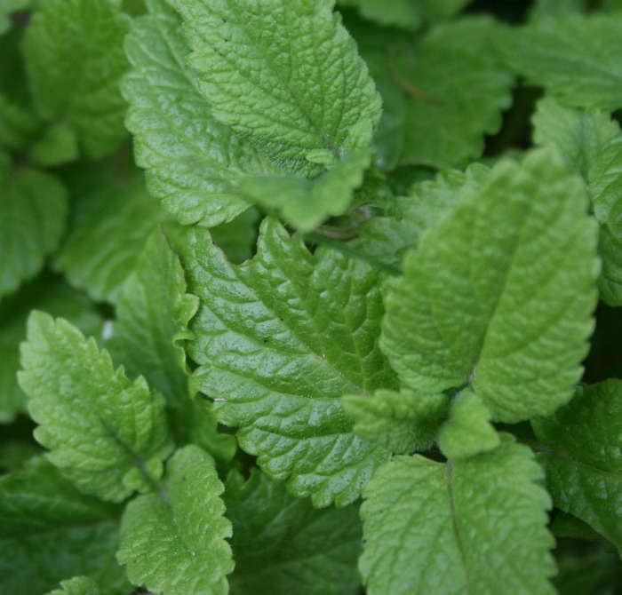 Lemon balm is good for keeping mosquitoes away.