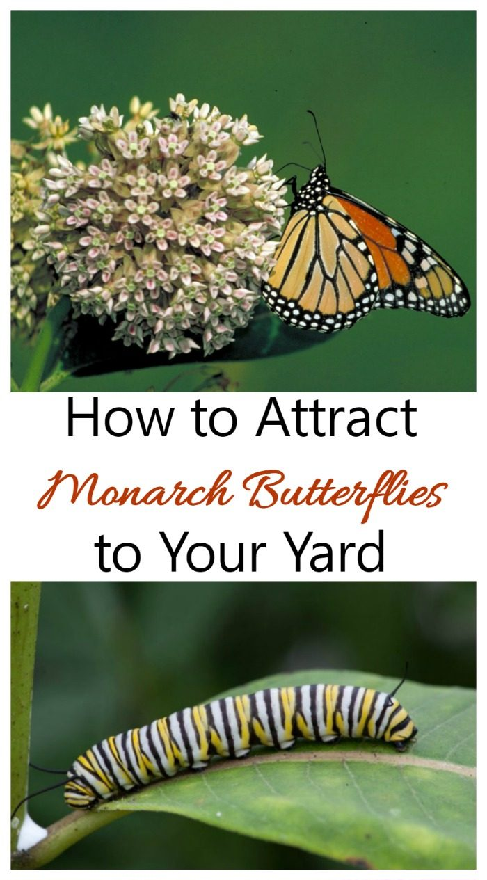 Monarch butterflies on a milkweed plant and caterpillar on a leaf with words How to Attract Monarch Butterflies to your Yard.