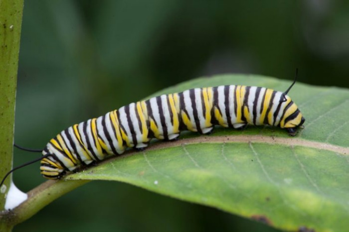 Monarch caterpillars need milkweed to live