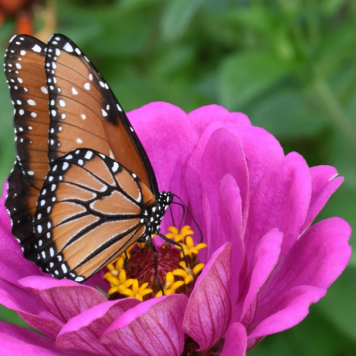 How to Attract Monarchs to your Yard