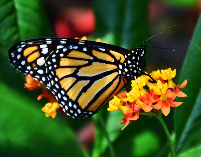 Adult monarchs like all flower nectar