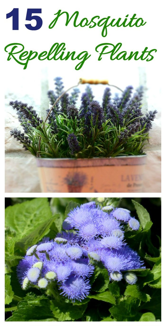 Lavender and ageratum plants with words reading !5 Mosquito Repelling Plants.
