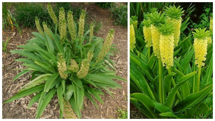 Pineapple lily plant