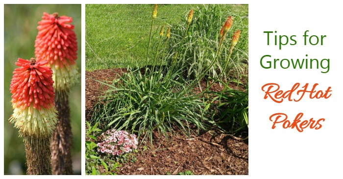 Red Hot Poker Growing And Caring For Torch Lilies