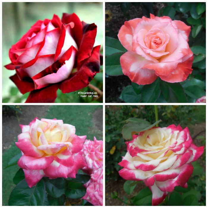 Variegated Roses will come back year after year, just like other perennials