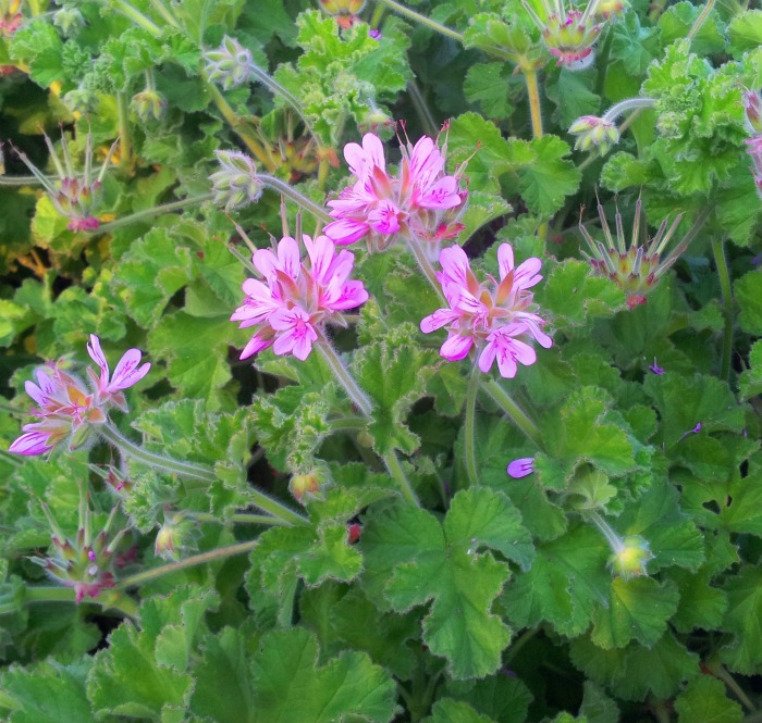 Scented geraniums are good for repelling insects like mosquitoes.