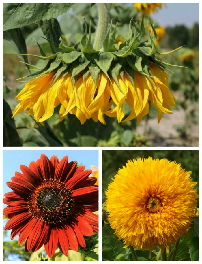 Growing Sunflower plants is easy with these tips