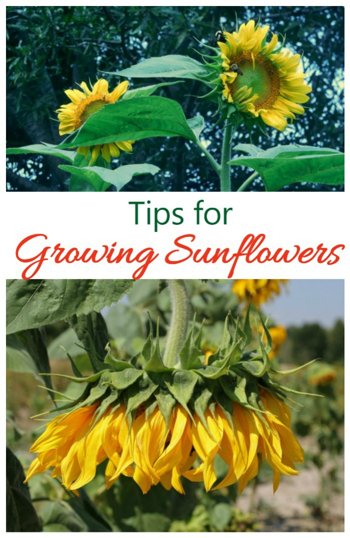Tips for growing sunflower plants