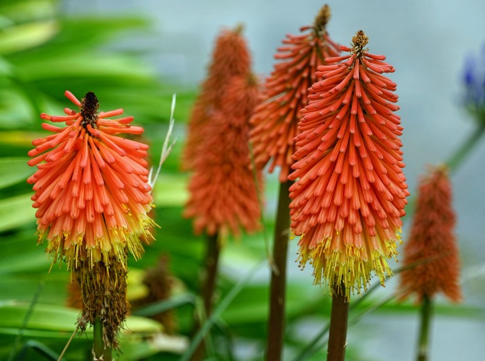 Torch lily, also known as red hot poker, or poker plant