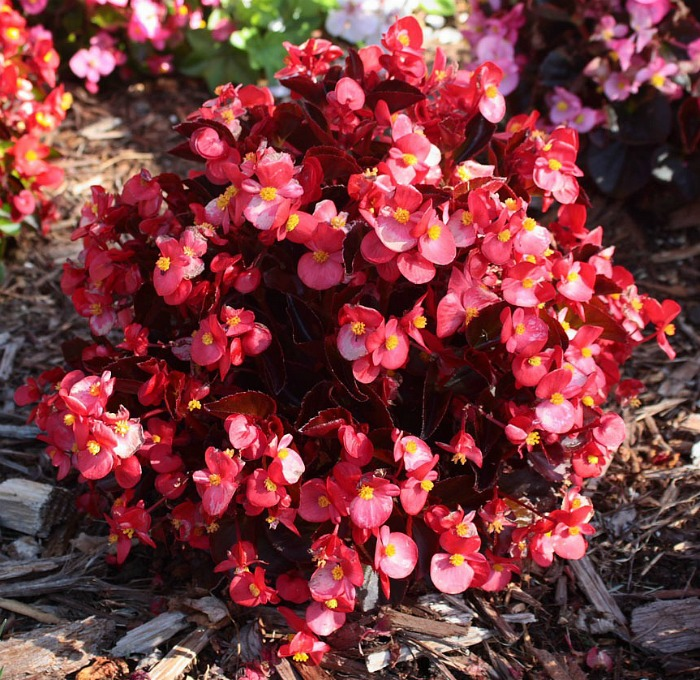 Red begonia plant