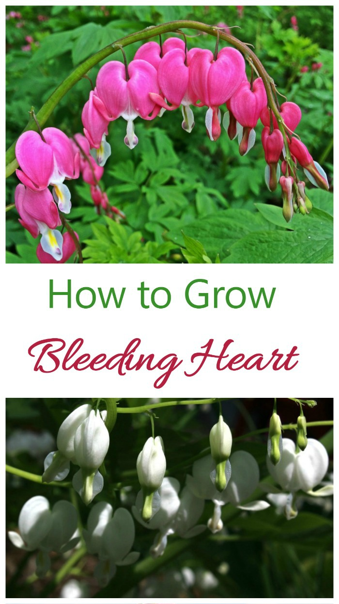How to grow Bleeding heart plant