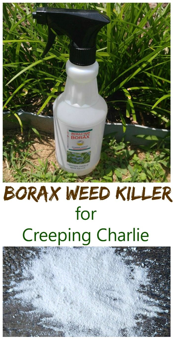 Weed killer in a bottle and image of Borax powder with words Borax Weed Killer for Creeping Charlie.