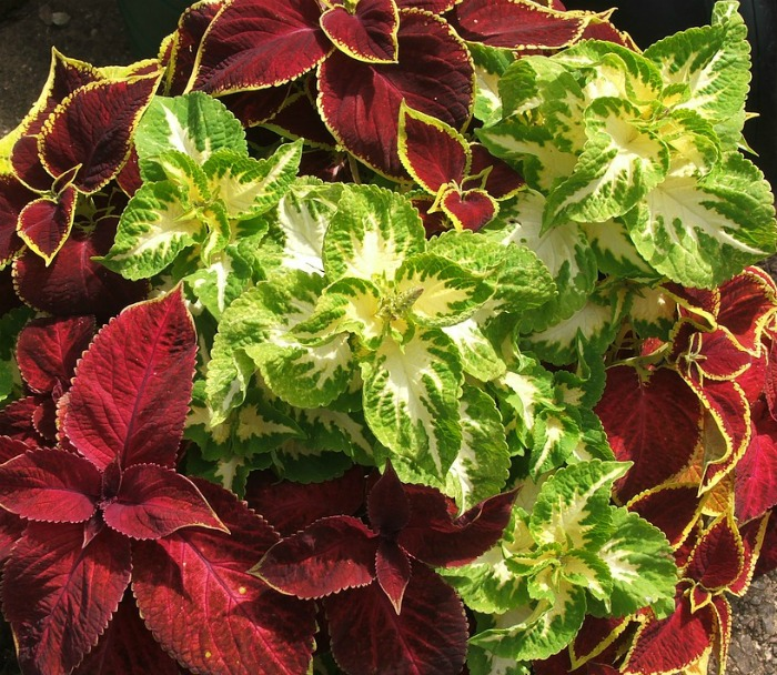 Mix of coleus plants
