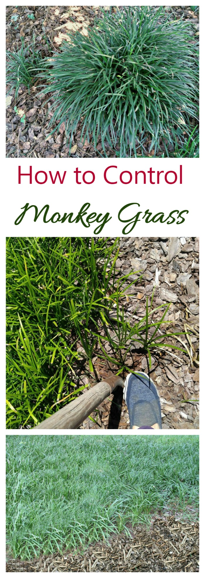 Controlling monkey grass can be a chore bu these tips will help to keep this invasive perennial from taking over your garden.