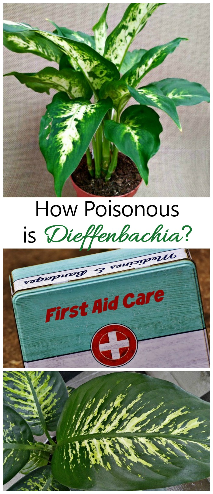 Dieffenbachia is a very popular houseplant. It is also poisonous to children and pets. See how toxic the plant , symptoms and remedies.