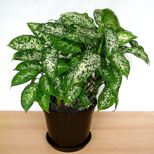 Dieffenbachia Poisoning How Toxic Is This Houseplant