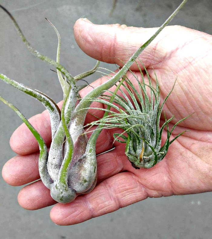 air plants have no real root system