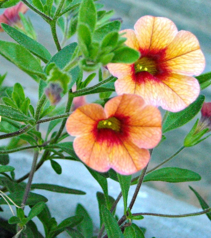 Calibrachoa is also known as million bells