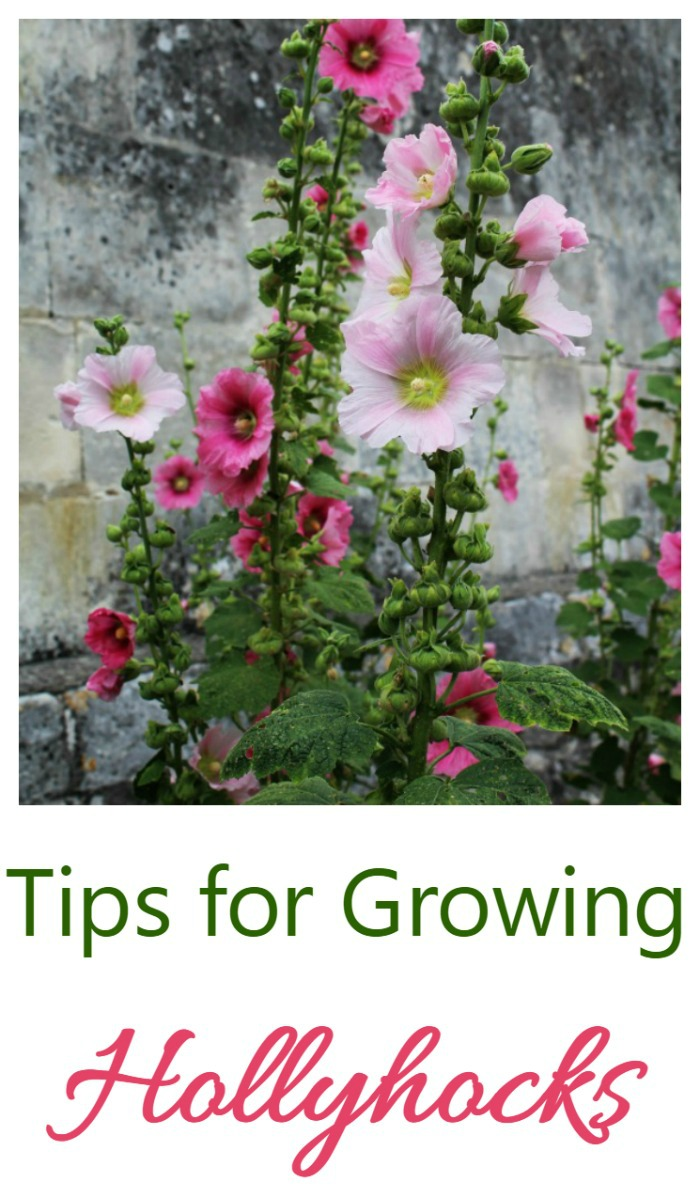 Hollyhocks are a flower that is often grown in cottage gardens. See my tips for growing these pretty plants.