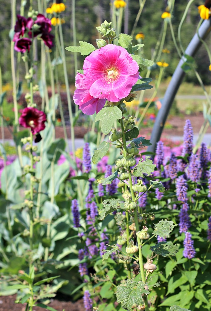 Hollyhocks and other flowering plants