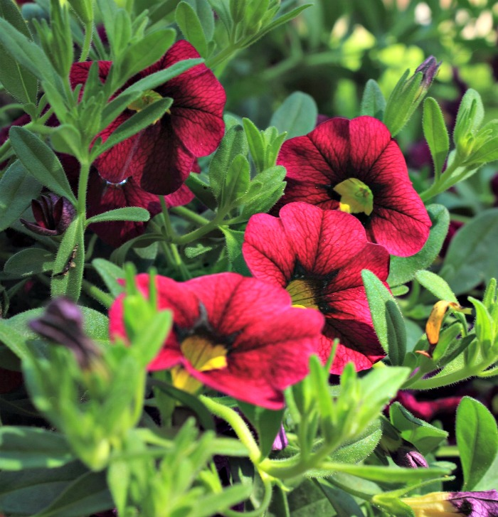 Petunias are a common summer border plant