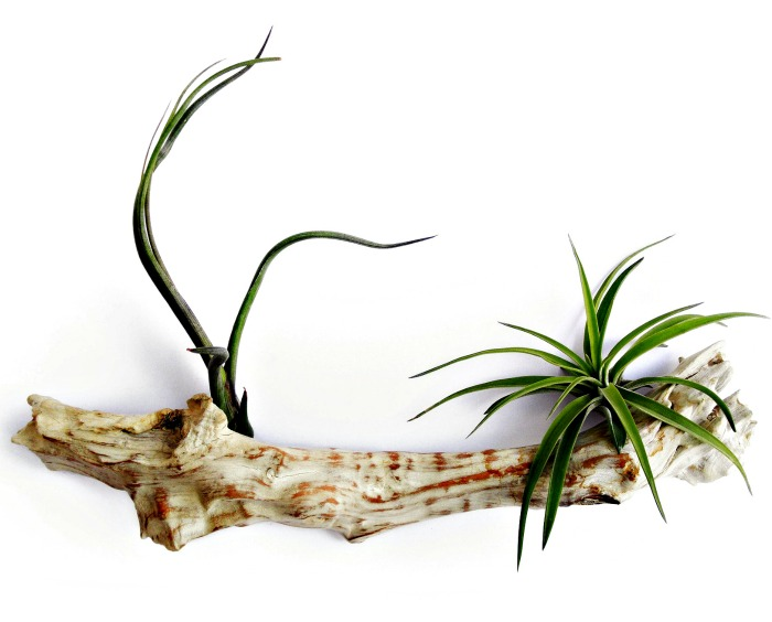 Log planters for tillandsias
