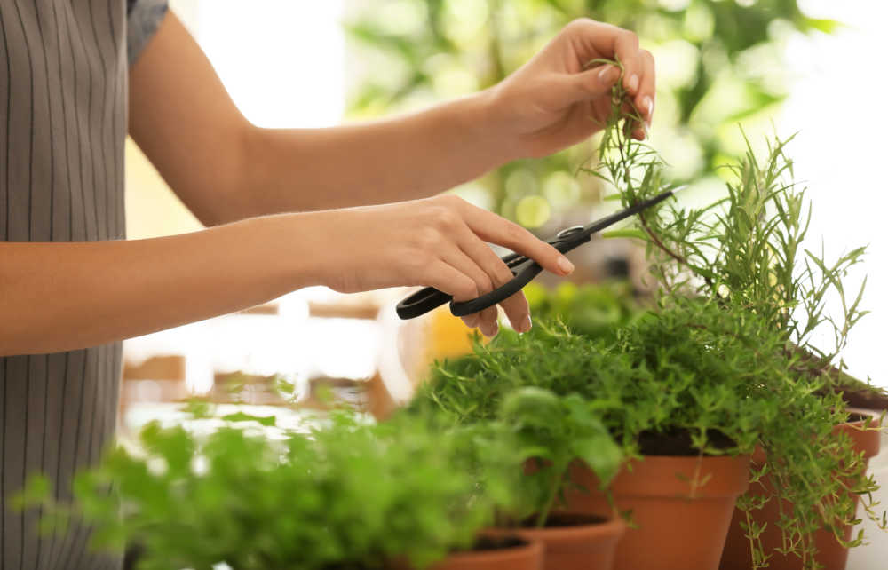 Woman cutting herbs from a kitchen garden.