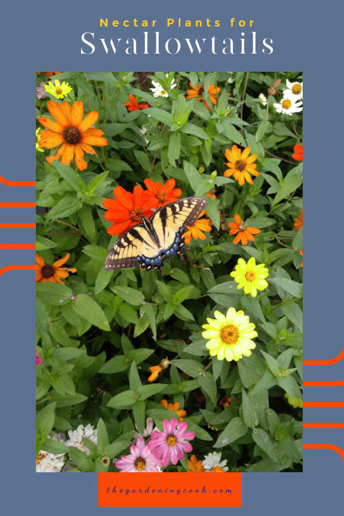 Swallowtail butterfly on a patch of zinnias with words reading Nectar plants for Swallowtails.