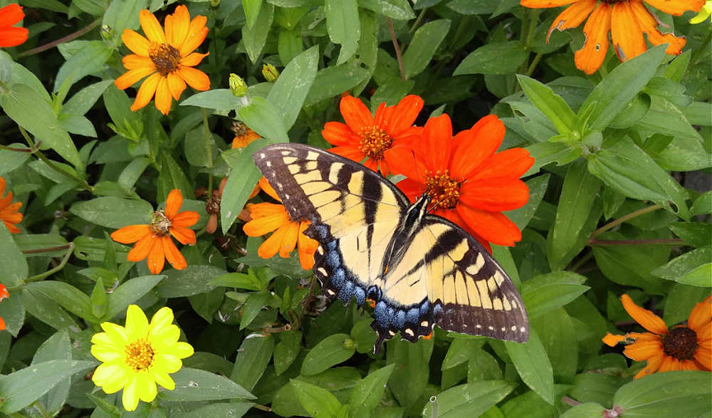 Swallowtail butterfly in a patch of zinnias.