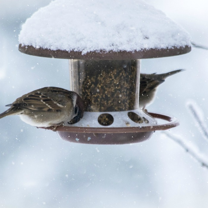 Bird feeding in the winter