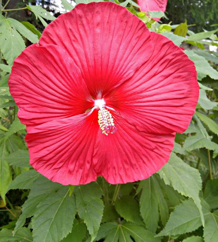 Giant hibiscus flower