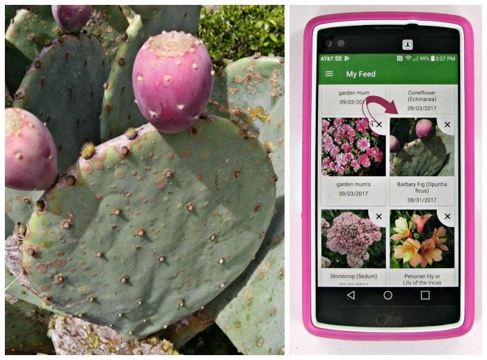 Opuntia identified in PlantSnap