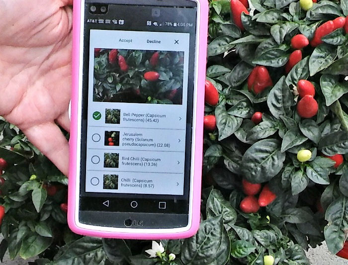 PlantSnap app on phone in front of ornamental peppers