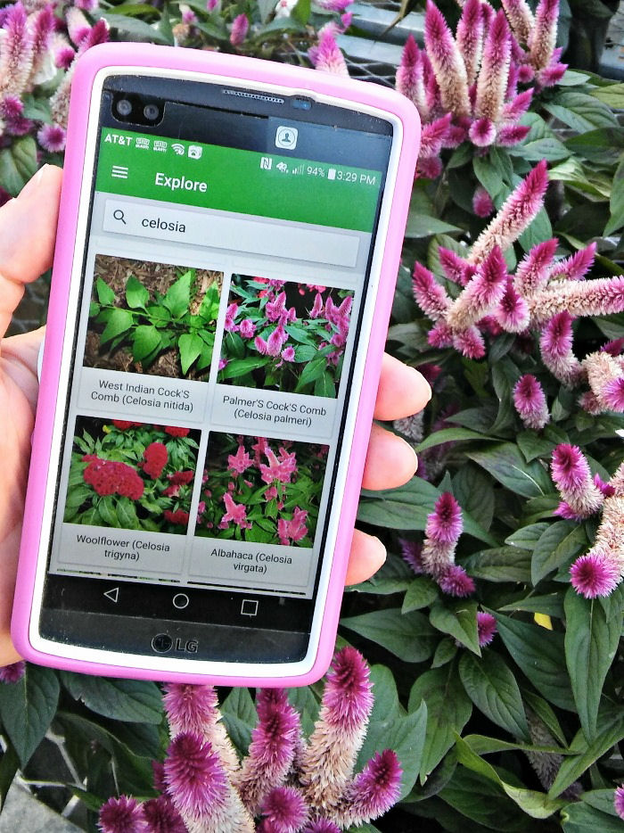 PlantSnap searching for celosia in front of a pink celosia plant.