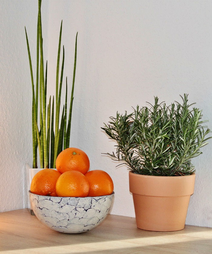 Rosemary makes a great indoor houseplant