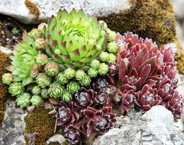 Succulents send out offsets that can be potted up to make new plants.