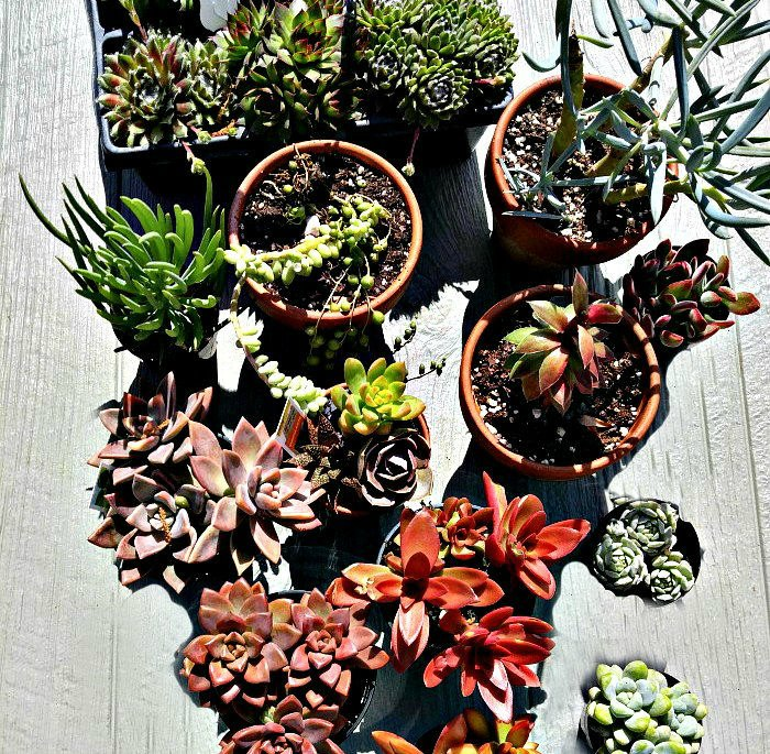Succulent plants ready to propagate