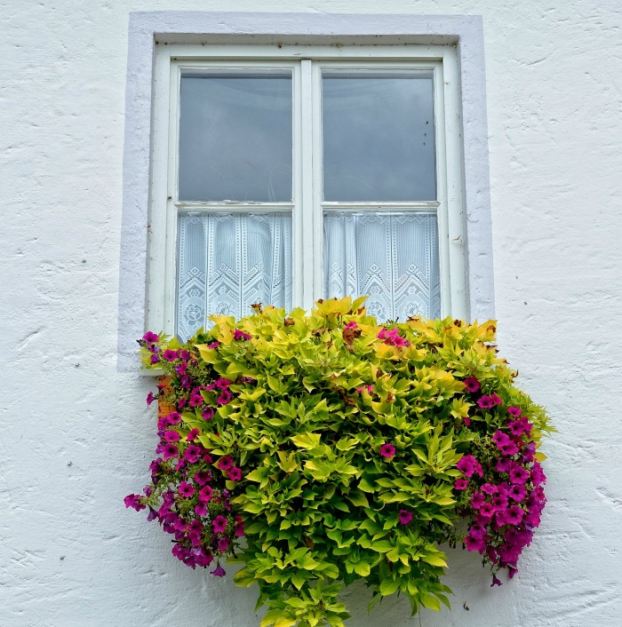 Window box with trailing plants