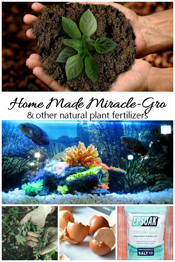 5 homemade plant fertilizers including home made Miracle Grow.