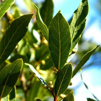 Leaves of bay laurel plant.