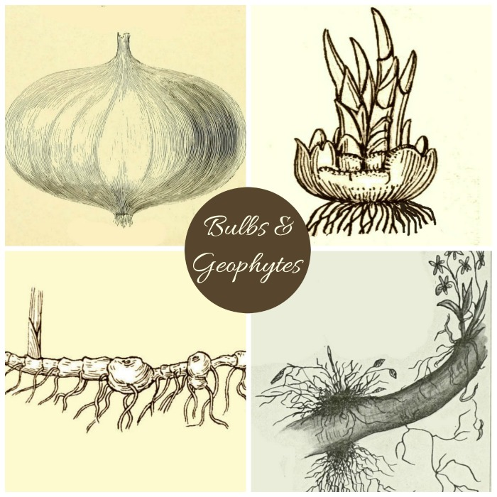 Bulbs Corms Rhizomes Tubers Bulbets and Tuberous roots are part of the geophyte family