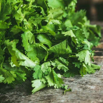 Fresh cilantro leaves on a counter - fresh herb identification.