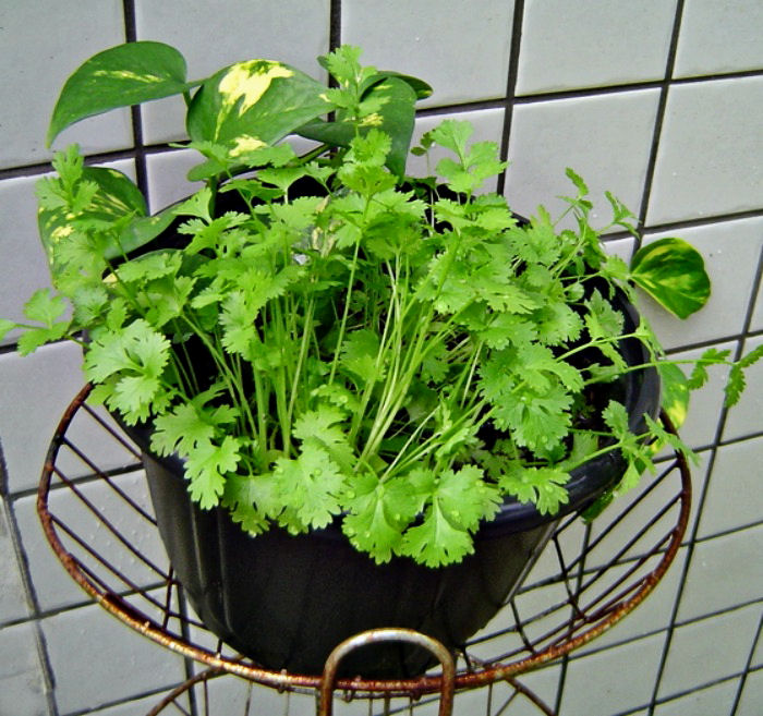 Fresh cilantro plant